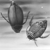 whirligig & predaceous diving beetles